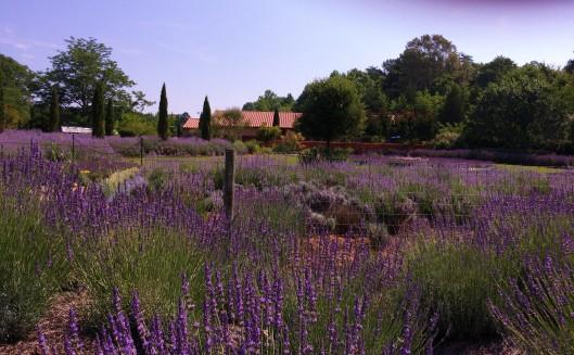lavender 10 (2)