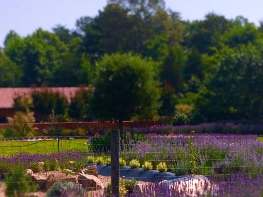 lavender 15 (2)