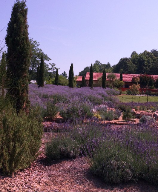 lavender 16 (2)
